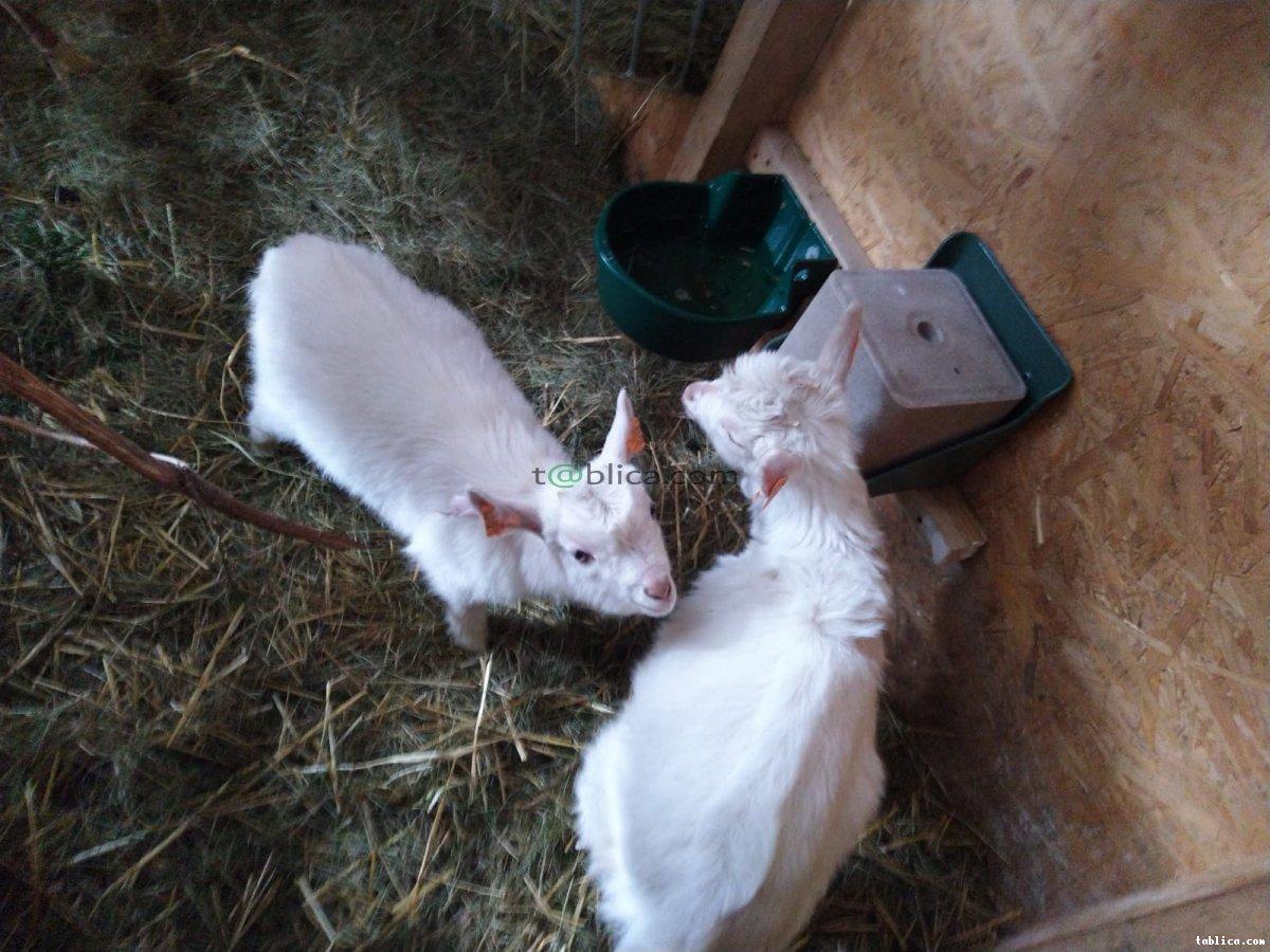 Kozy Koziołki Karpackie oraz mieszance