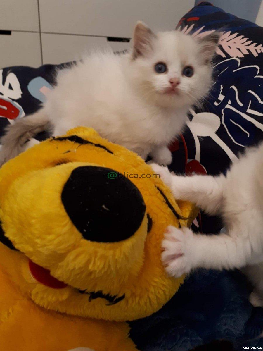 Kocięta Ragdoll z rodowodem