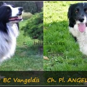 Border collie po Championach